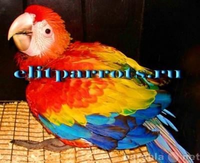Продам Попугаи ара -птенцы из питомников в Москве.