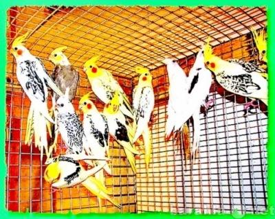 Кореллы птенцы, разных расцветок, самки и самцы.