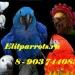 Продам Попугаи  ручные птенцы из питом. Европы